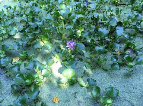 201709 hyacinth flower